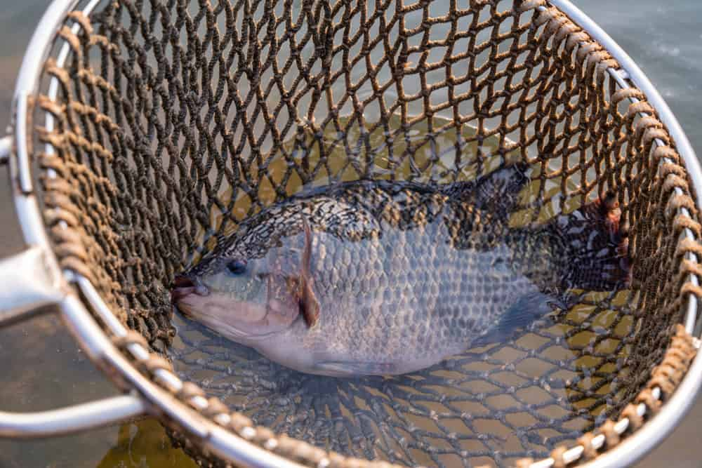 How to Target and Catch Tilapia